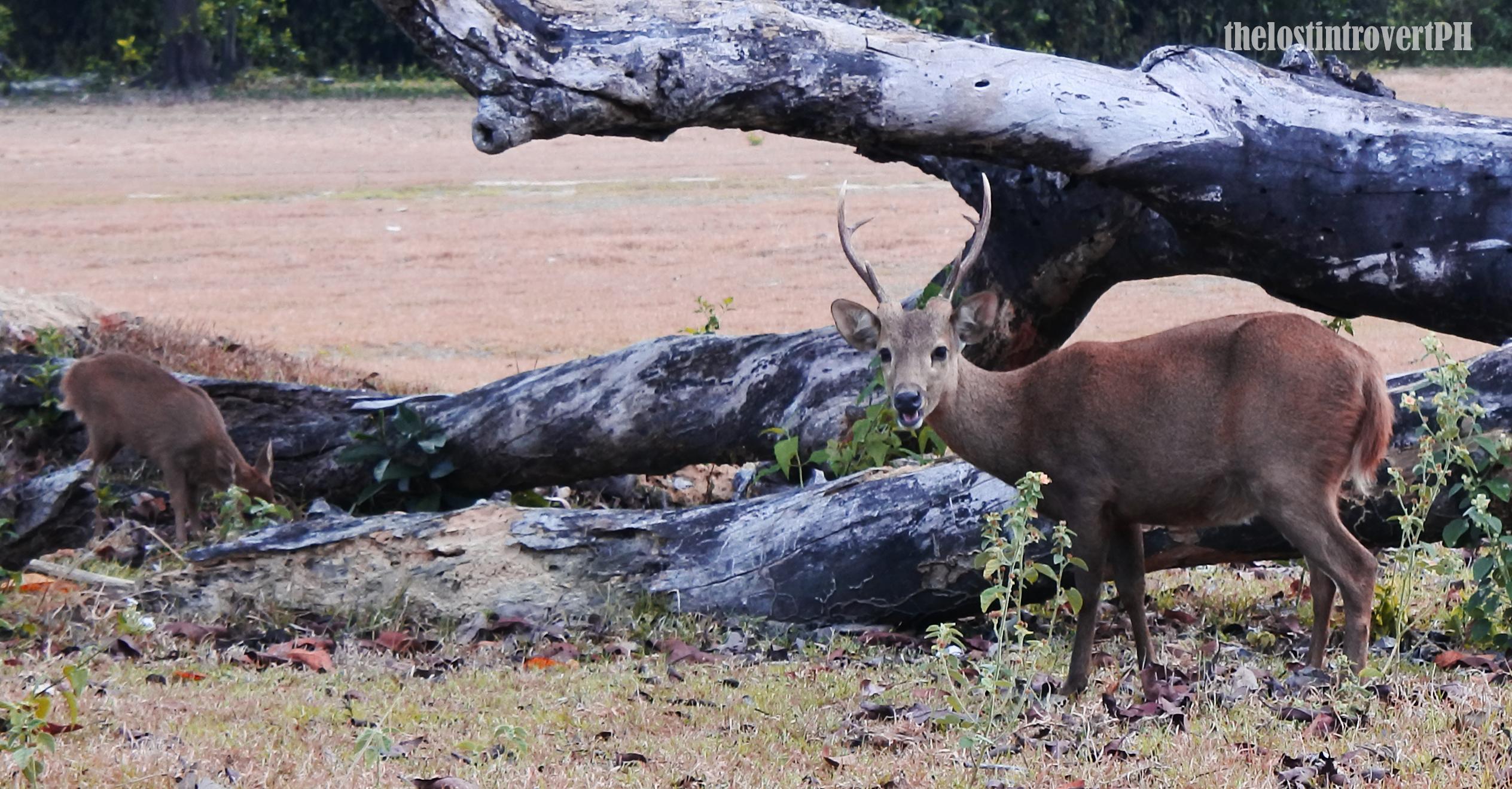 Calauit Camian Deer