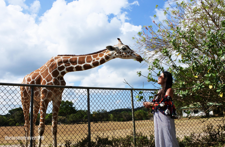 Calauit Giraffe Feeding.png